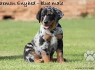 Inzercia psov: Beauceron - štěňátka