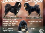 Inzercia psov: Štěňata Tibetských dog...