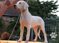 Inzercia psov: Nádherné fenky Argenti...