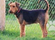 Inzercia psov: Airedalský terier- šte...