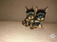 Inzercia psov: Psík mini yorkshirsky ...
