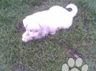 Inzercia psov: Akita-Inu nádherná fenka