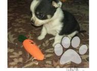Inzercia psov: Krátkosrstá mini čivava