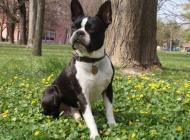 Inzercia psov: boston terier na krytie