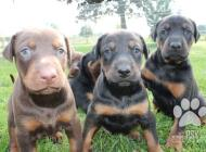 Inzercia psov: Predám šteniatko dober...