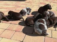 Inzercia psov: Šteniatka Nemeckého kr...