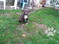 Inzercia psov: predam šteniatko fenku...