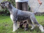 Inzercia psov: Bradač velký Pepr a Sol