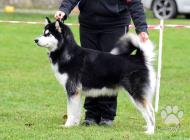 Inzercia psov: Aljašský malamut - ště...
