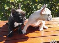 Inzercia psov: Francúzsky buldoček bl...