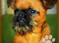 Inzercia psov: Grifonek bruselský, br...