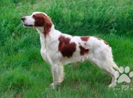 Inzercia psov: Irský červenobílý setr...