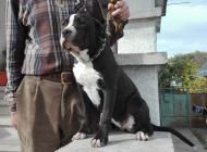 Inzercia psov: Americký stafordširský...
