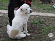 Inzercia psov: šteniatka stredoázijsk...