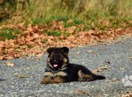 Inzercia psov: Nemecký ovčiak dlhosrstý