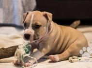 Inzercia psov: Predam steniatka staff...