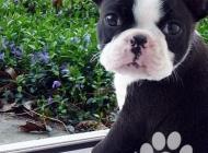 Inzercia psov: Nabídka Bostonský Teri...