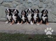 Inzercia psov: Velký švýcarský salašn...