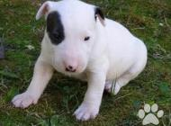 Inzercia psov: Prodám Mini Bulteriéra...