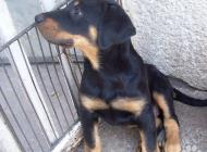 Inzercia psov: Beauceron - Francúzsky...