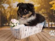 Inzercia psov: Šteňatá Shelti na pred...