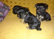 Inzercia psov: Mini Yorky