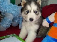 Inzercia psov: Sibírsky husky hasky