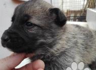 Inzercia psov: Kaukazský ovčiak šteni...