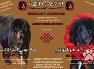 Inzercia psov: Tibetská doga - štěně ...