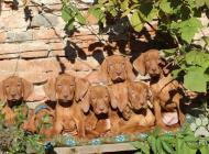 Inzercia psov: Maďarský stavač, odber...