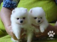Inzercia psov: Německý špic bílý, trp...