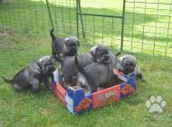Inzercia psov: Bradač stredný korenie...