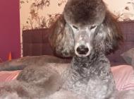 Inzercia psov: Pudel královský strieb...