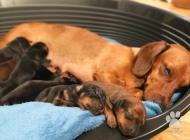Inzercia psov: Ponúkam šteniatka čist...