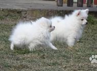 Inzercia psov: Německý špic malý a tr...