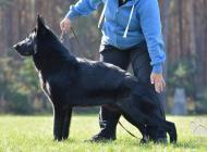 Inzercia psov: Německý ovčák - štěńata