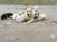 Inzercia psov: Predám troch fešákov