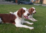 Inzercia psov: Predám šteniatka Wales...