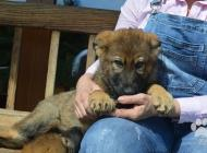 Inzercia psov: Nemecký ovčiak šteňatá