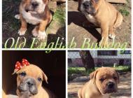 Inzercia psov: Old English Bulldog - ...