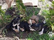 Inzercia psov: Predám štenistka sibir...