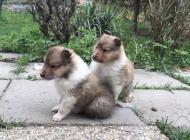 Inzercia psov: Šteniatka dlhosrstej k...