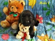 Inzercia psov: Labrador Retriever šte...