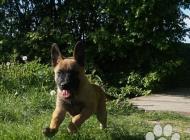 Inzercia psov: Belgický ovčák malinoi...
