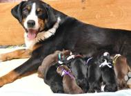 Inzercia psov: Appenzellský salašnick...