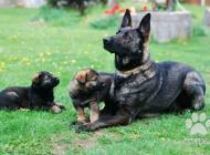 Inzercia psov: Prodej štěňat německý ...