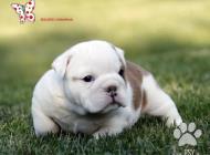 Inzercia psov: Anglický buldok - BULL...