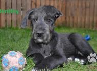 Inzercia psov: Štěňata Irského vlkodava