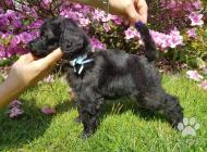 Inzercia psov: Královský pudl – černý