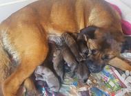 Inzercia psov: CANE CORSO Šteniatka -...